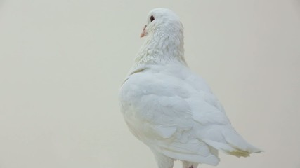rotating pigeon on a white background