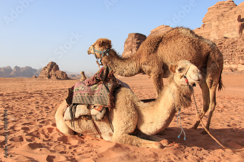 Poster Camels in the Wadi Rum desert, Jordan, at sunset