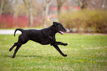 happy curly coated retriever dog playing outdoors