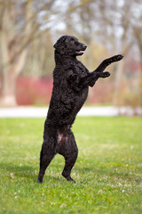 black dog standing on rear legs