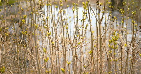 Buds of leaves on twigs in early spring, 4k