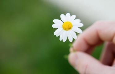 Men hands holding a beautiful daisy