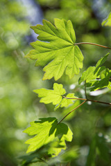 Young green leaves of maple in sunny day.