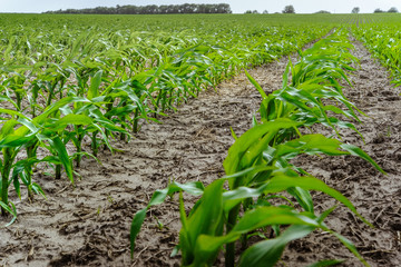 Young corn plants at the farmer's field