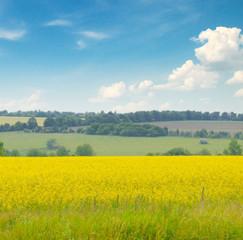 canola field and blue sky