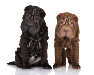black and brown shar-pei puppies