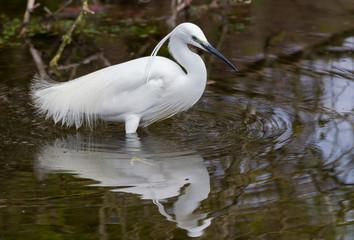 Little egret (Egretta garzetta) in the mirror