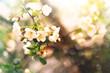 apple tree branch blooming in spring