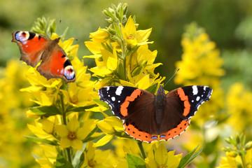 Schmetterling 127