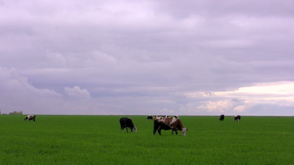 Cows on a meadow. Timelapse