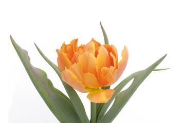 orange Tulip isolated on white background