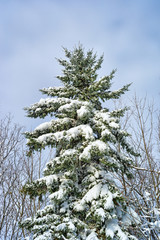 Large fir tree covered with snow