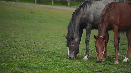 Herd of Young Horses Graze on the Farm Ranch, Animals on Summer