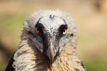 eagle vulture