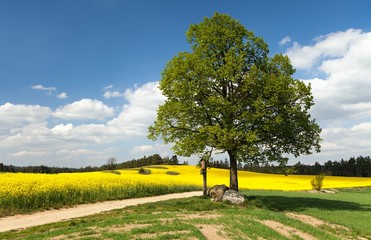 View of way between rapeseed field and lime tree