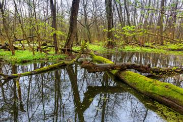 old tree on bog in forest