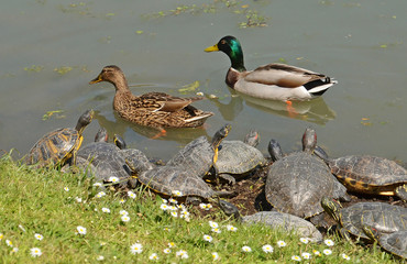 water turtles and mallards couple