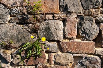 Natursteinmauer mit Löwenzahn