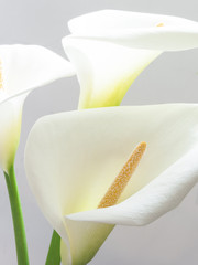 beautiful calla flowers