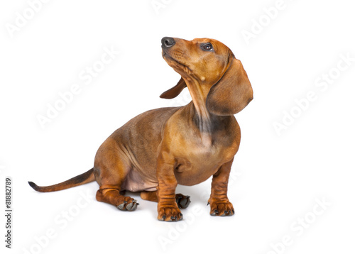 In de dag Hond Dachshund Dog isolated on white background