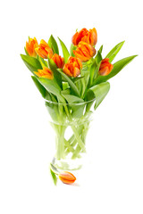orange tulips isolated on white background