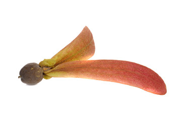 Dipterocarpus Alatus Flower on white background