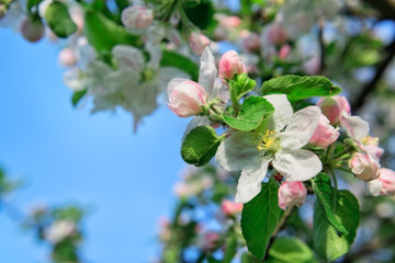 Apple flowers background