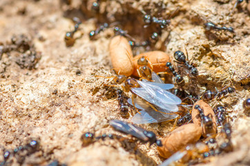 Redhead queen ant with wings leaves spring anthill.