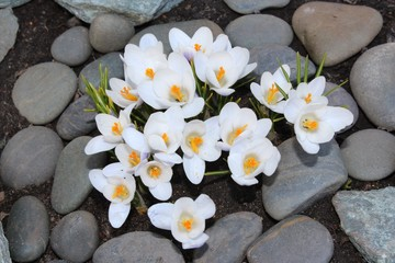 Crocus flower spring bloom in the garden