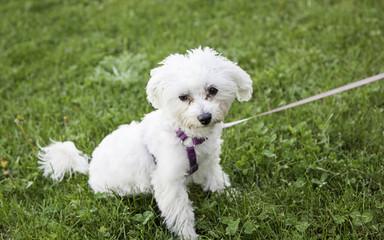 Bichon Maltese leash