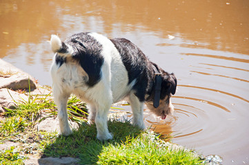 Jack Russell drinking water from a pond