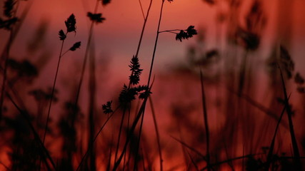 Red sunrise with grass silhouette