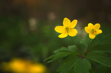 Adonis vernalis yellow wildflower