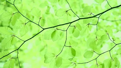 Bright green spring beech branch with leaves in wind