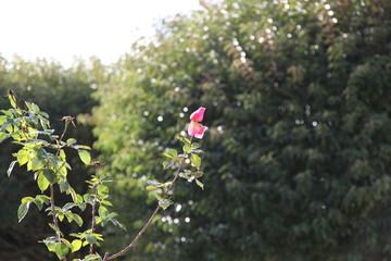 Rosa, jardín de luz y fragancia