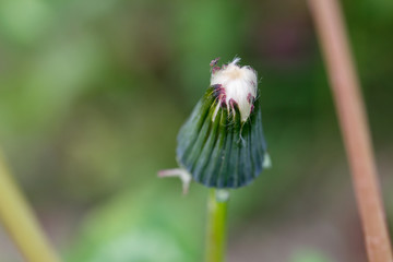 Close up of closed dandelion bud, on green blurry background.