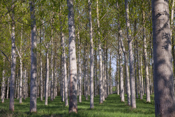 arbres alignés