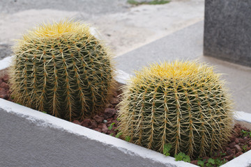 Golden Barrel Cactus in the flower bed outside