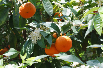 Tangerine tree with ripe fruits and flowers close-up