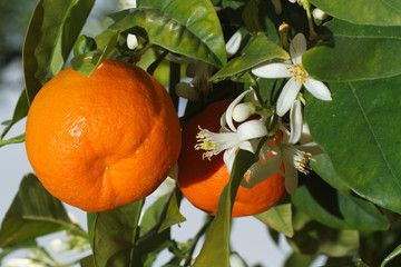 Ripe tangerines and flower on a tree horizontal, outdoors