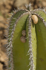 Snails on a cactus close up. vertical