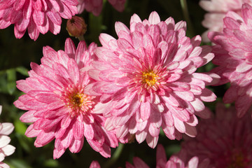 Beautiful pink chrysanthemum close-up, horizontal