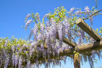 The flower of wisteria