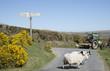 Leinwandbild Motiv Sheep crossing road on Dartmoor Devon England UK