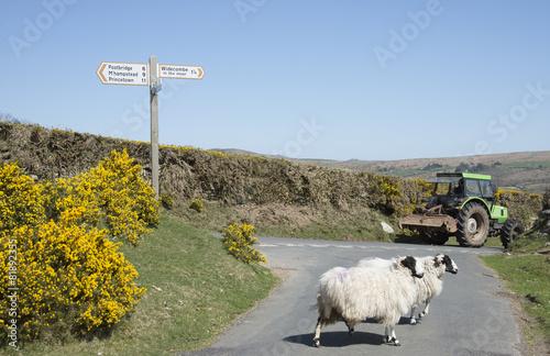Sheep crossing road on Dartmoor Devon England UK - 81892355