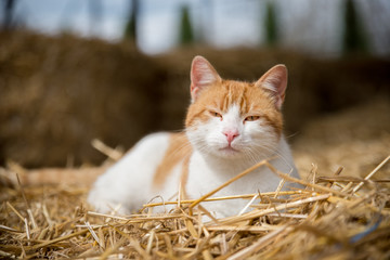 Cat on hay