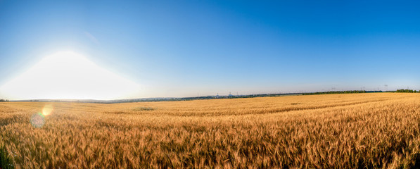 Rye field in a sunny day