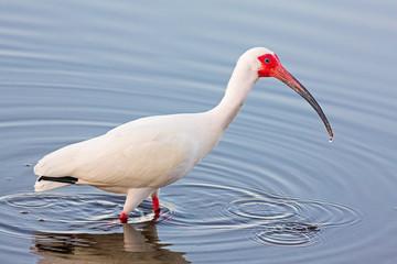 Wading American White Ibis