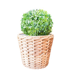 Green bush in wicker basket isolated on white background