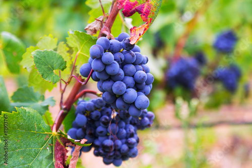 Papiers peints Vignoble grapes at vineyards plant